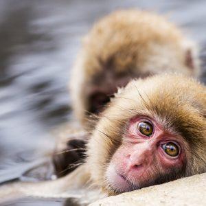 Bundesverwaltungsgericht erlaubt Bremer Affenversuche