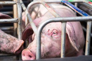 Schwein im Kastenstand