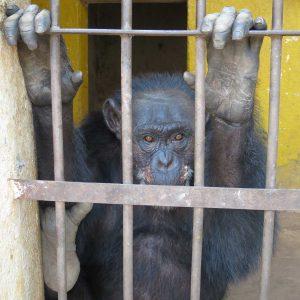 Ein zweites Leben für Schimpansin Lolita