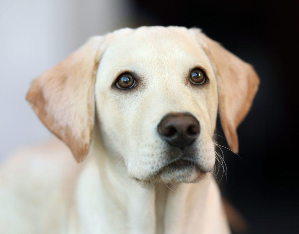Augenaufschlag Hund