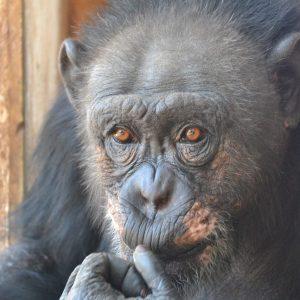 Dr. Bauers Reise zu Schimpanse Lolita