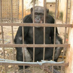 Positive Entwicklungen für Schimpansendame Lolita