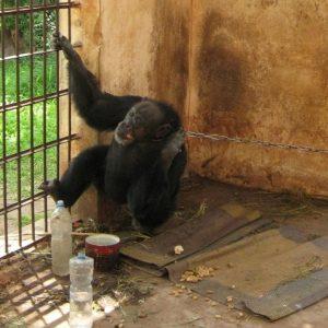 Hilfe für Schimpansenfrau