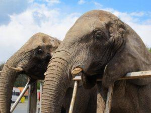 Elefanten im Circus Voyage