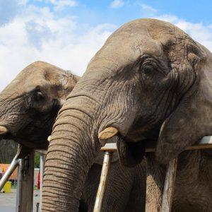 Wie geht es den Tieren beim Circus Voyage?