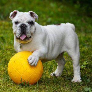 Qualzucht bei der Englischen Bulldogge