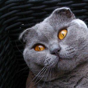 Qualzucht bei Katzen