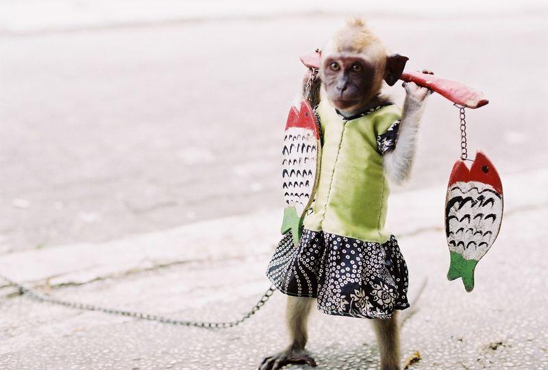 Angezogener Affe an Kette.