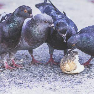 Plädoyer im Prozess um Fütterung von Tauben