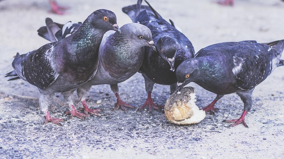 Tauben beim Essen eines Brötchens.