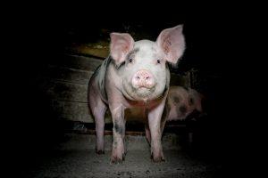 Einbruch von Tierrechtlern im Schweinestall, überraschtes Schwein im Dunkeln