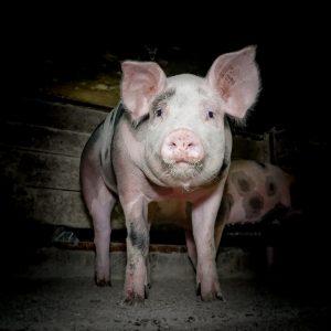 Erfolg: Freispruch für Tierschützer nach Undercover-Recherche