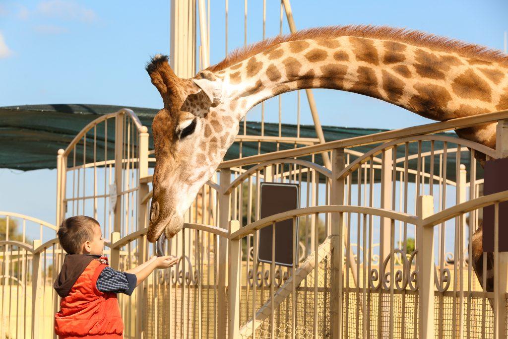 Giraffe wird von Jungen gefüttert
