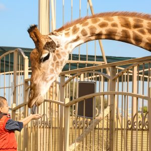 Transportverbot von Giraffen im Zirkus
