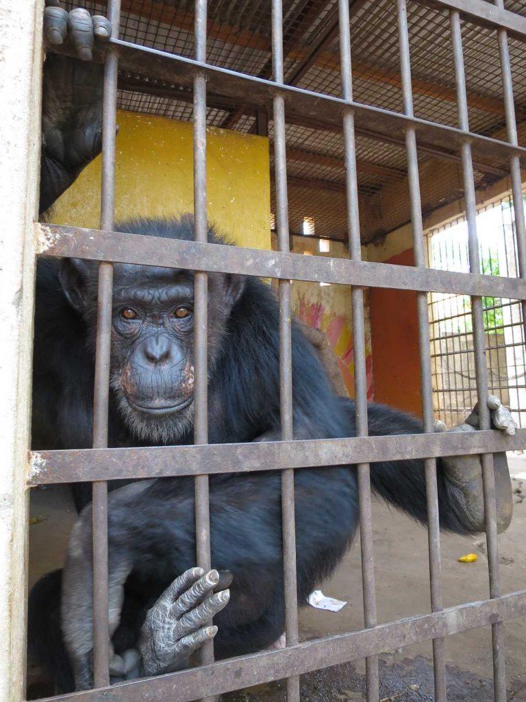 Schimpansin Lolita in ihrem Käfig