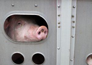 Schwein bei einem Tiertransport