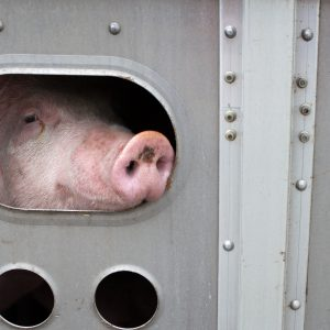 Tiertransporte in Drittstaaten: Forderungen an die Agrarministerkonferenz