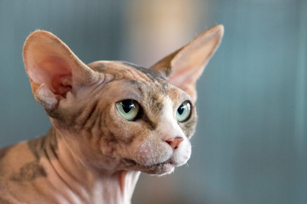 Nahezu haarlose Sphynx-Katze.