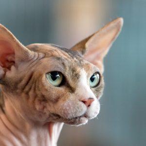 Verbot der Qualzucht bei Nacktkatzen