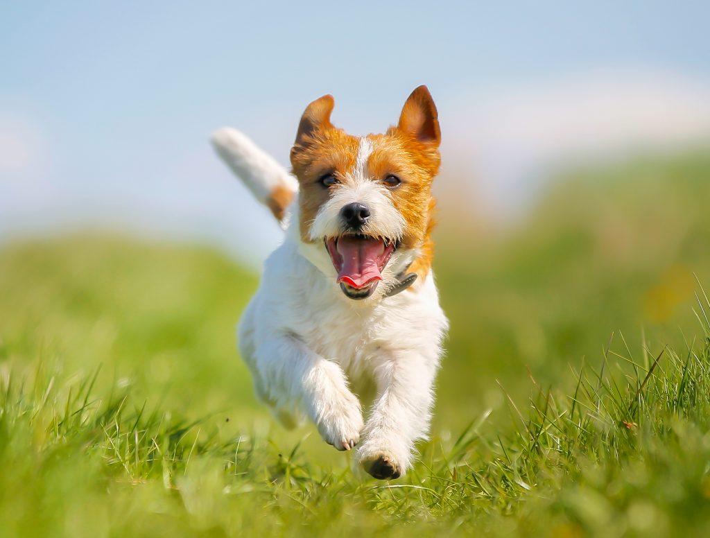 Rennender, hechelnder Hund