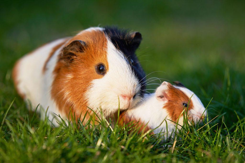 Meerschweinchen Mutter mit Kind im Gras