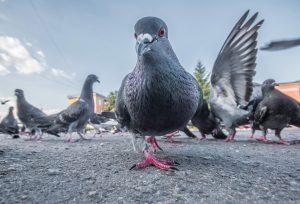 Taube auf der Straße