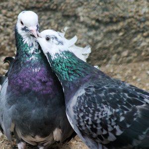 DNA-Studien zeigen: Die Straßentaube ist kein Wildvogel!