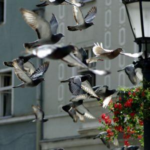 Salzburger Taubenhaus: Budget gestrichen