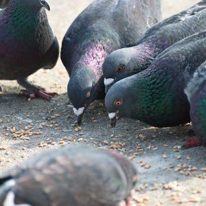 Tauben richtig füttern, so geht's: