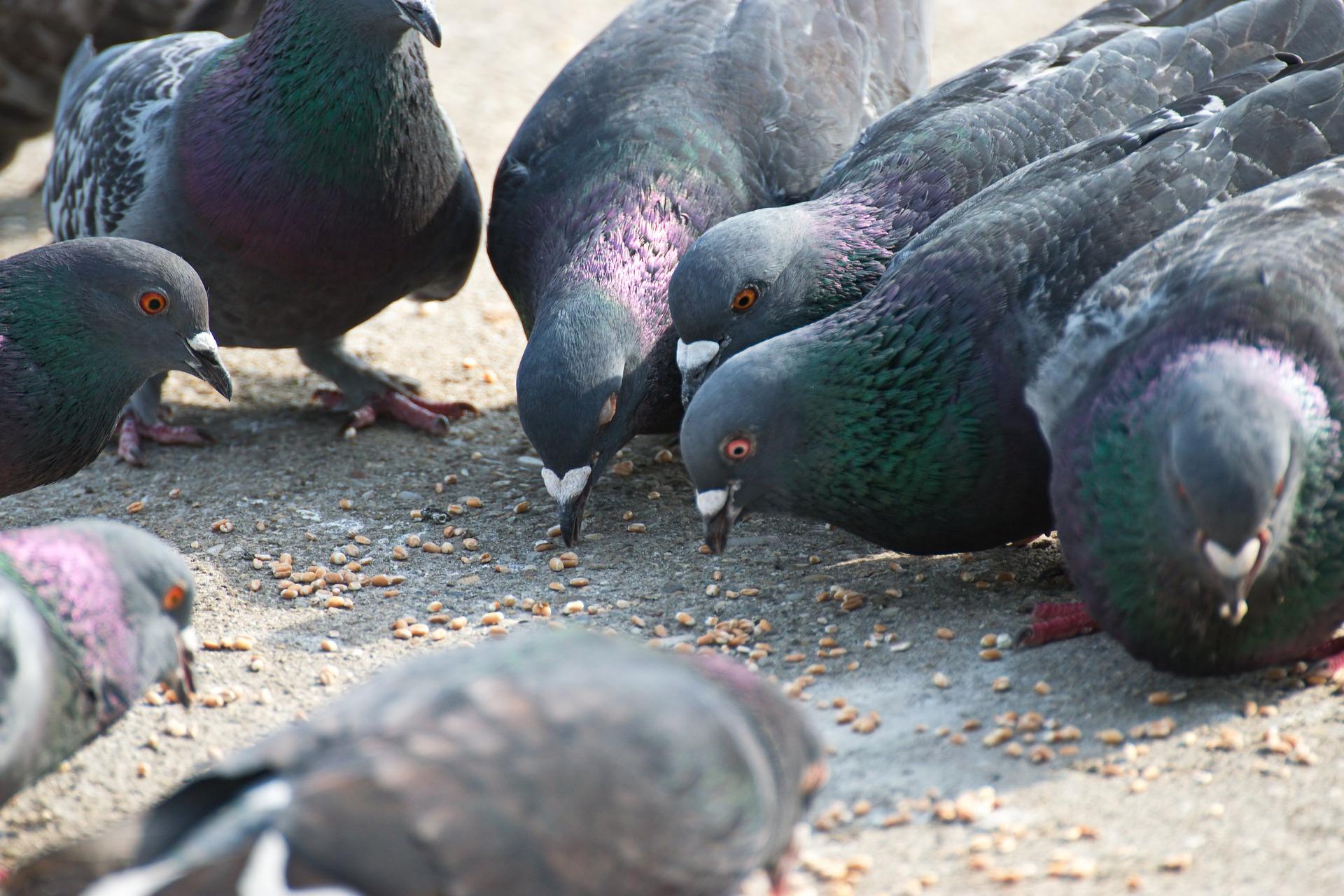 Tauben richtig füttern