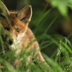 Urteil des Staatsgerichtshof Hessen zur Jagdbarkeit von jungen Wildtieren lässt Tierschutz unberücksichtigt