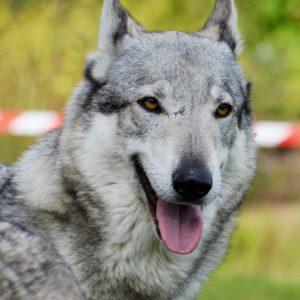 Strafanzeige wegen Tötung des Wolfshundes Mr. Blue
