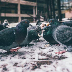 Musterschreiben zum Taubenfütterungsverbot
