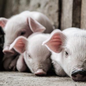 Minischwein Pitti ist gestorben, doch unser Prozess geht weiter