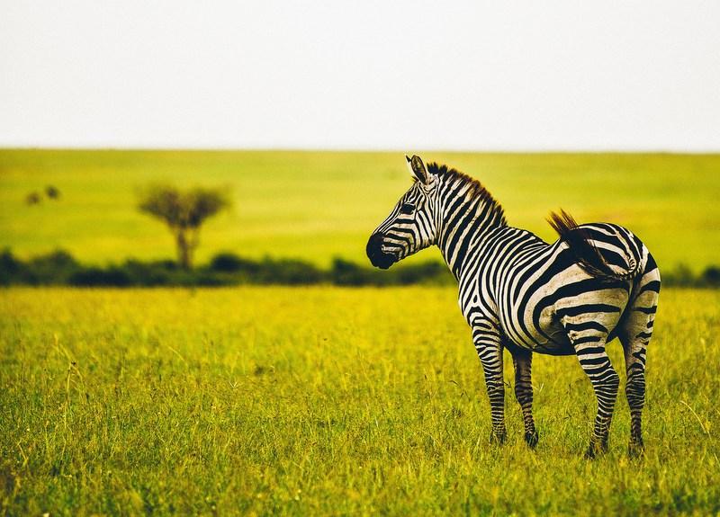 Zebra auf der Straße