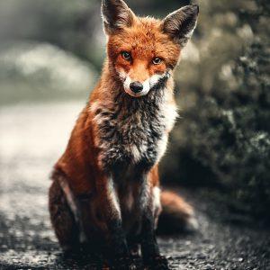 Tierschützer rettet Fuchs – Zu Hilfe gerufene Polizei tötet das Tier in seiner Wohnung