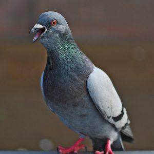 Berliner Tierschützerin vor Gericht wegen Füttern von Tauben