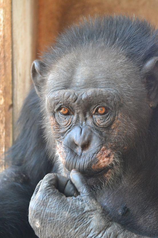 Lolita, 34-jährige Schimpansenfrau