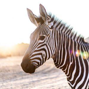 Rostocker Feuerwehr erschießt entlaufenes Zebra und Hund